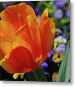 Beautiful Blooming Orange And Red Tulip Flower Blossom Metal Print