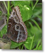 Beautiful Blue Morpho Butterfly Resting In A Garden  Metal Print