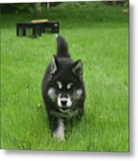 Beautiful Bold Two Month Old Alusky Puppy Dog Metal Print