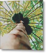 Beautiful Branches And Leaves Of Papaya Tree Along With The Tasty Exotic Fruit Fill The Frame Metal Print