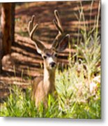 Beautiful Buck Deer In The Pike National Forest Metal Print