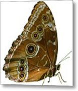 Beautiful Butterfly Wings Of Meadow Brown Isolated Metal Print