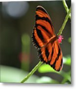 Beautiful Color Patterns To An Oak Tiger Butterfly  Metal Print