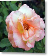 Beautiful Delicate Pink Rose On Green Leaves Background. Metal Print