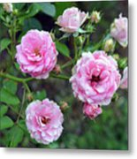 Beautiful Delicate Pink Roses On Green Leaves Background. Metal Print
