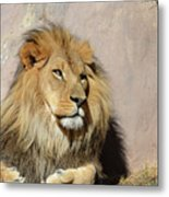 Beautiful Face Of A Lion In The Warm Sunshine Metal Print