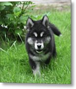 Beautiful Face Of An Alusky Puppy Dog In Thick Green Grass Metal Print