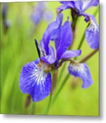 Beautiful Flower Iris Metal Print