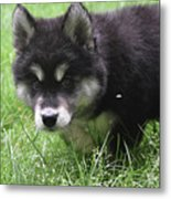 Beautiful Furry Black And White Alusky Only Two Months Old  Metal Print