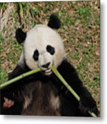 Beautiful Giant Panda Eating Bamboo From The Center Metal Print