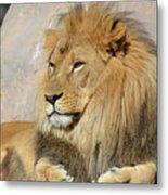 Beautiful Golden African Lion Relaxing In The Sunshine Metal Print