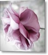 Beautiful Lavender Rose Metal Print
