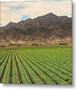 Beautiful Lettuce Field Metal Print
