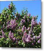Beautiful Lilacs Day Metal Print
