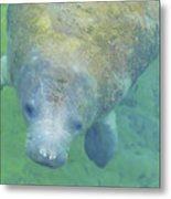 Beautiful Manatee Metal Print