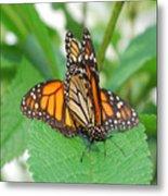 Beautiful Monarchs Metal Print
