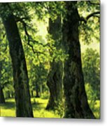 Beautiful Oak Trees Reach To The Skies Metal Print