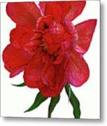 Beautiful Peony Flower. Metal Print