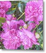 Beautiful Pink Peonies Metal Print
