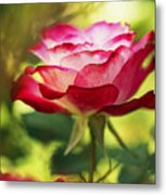 Beautiful Pink Rose Blooming In Garden Metal Print