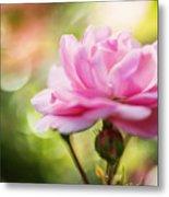 Beautiful Pink Rose Blooming In Garden With Natural Bokeh Metal Print