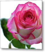 Beautiful Pink Rose With Leaves On A Wite Background. Metal Print