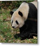 Beautiful Profile Of A Giant Panda Bear Ambling Along Metal Print