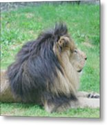 Beautiful Profile Of A Resting Lion In Green Grass Metal Print