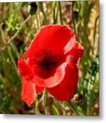 Beautiful Red Poppy Metal Print
