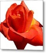 Beautiful Red Rose Photograph Vector Metal Print