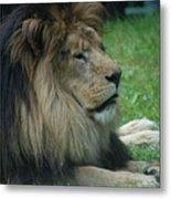 Beautiful Resting Lion In Tall Green Grass Metal Print