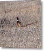 Beautiful Rooster Pheasant  Metal Print