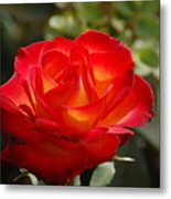 Beautiful Rose Metal Print