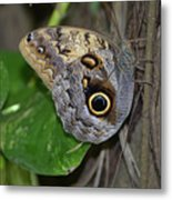 Beautiful Shot Of A Brown Morpho Butterfly Resting  Metal Print