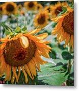 Beautiful Sunflower Field In South Carolina Metal Print