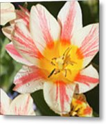 Beautiful Tulip With A Yellow Center And Pink Striped Petals Metal Print
