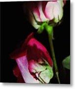 Beautiful Two Tone Roses 2 Metal Print