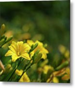 Beautiful Vibrant Yellow Lily Flower In Summer Sun Metal Print