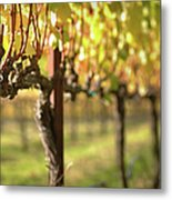 Beautiful Vineyard In Napa Valley Metal Print