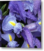 Beautiful Violet Colored Iris Flower With Rain Drops Metal Print