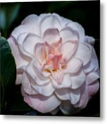 Beautiful White Camellia Metal Print