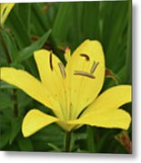 Beautiful Yellow Lily In A Garden During Spring Metal Print