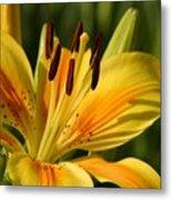 Beautiful Yellow Lily Metal Print