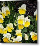 Beautiful Yellow Pansies Metal Print
