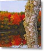 Beauty And The Birch - Nova Scotia Metal Print