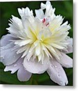 Beauty Can't Be Dampened - Festiva Maxima Double Peony Metal Print