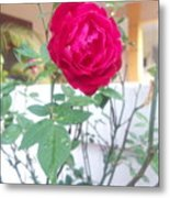 Beauty Of  Red Rose  Metal Print