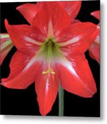 Beauty Of The Amaryllis Metal Print