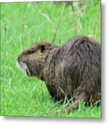 Beaver With Whiskers Metal Print