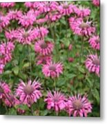 Bee Balm Beauties Metal Print